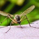 HW_0714_Mosquito_620x350