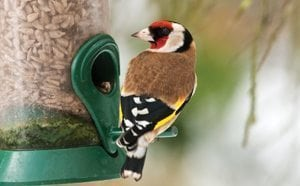 Goldfinch-Birdwatching
