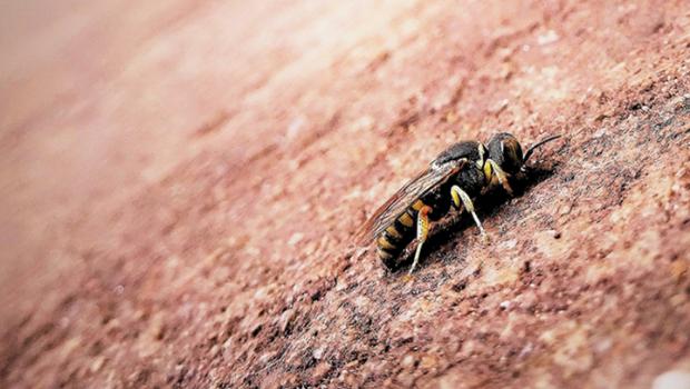 wild-bees